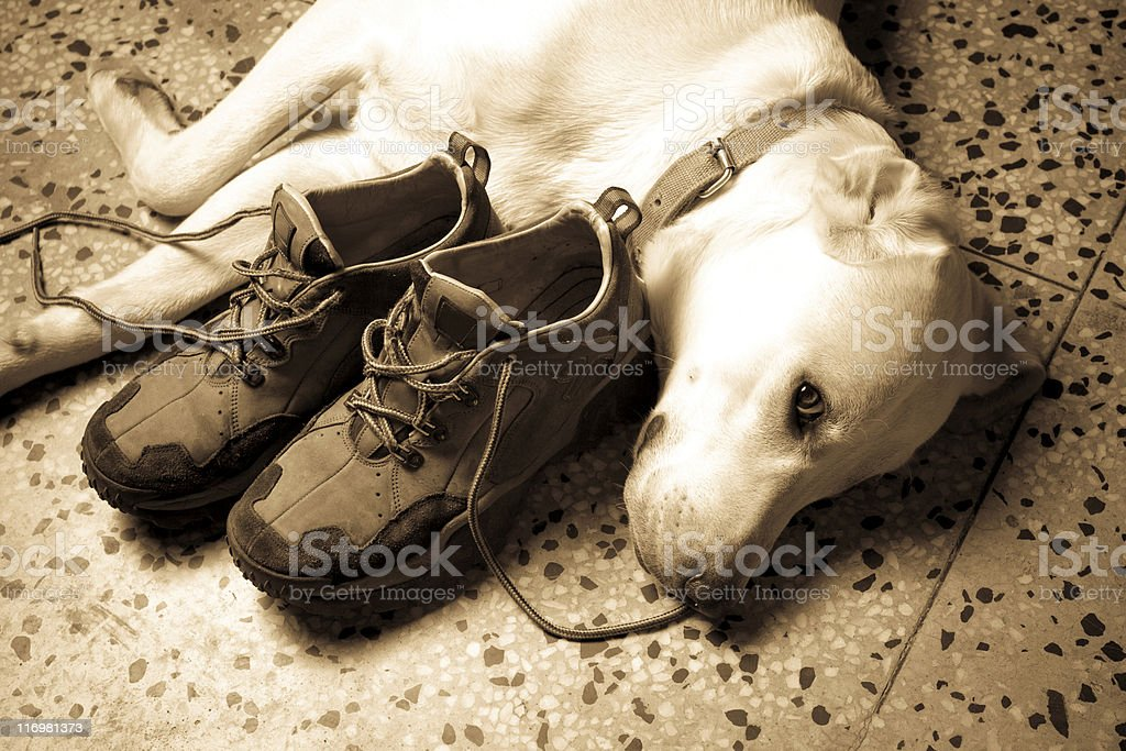 Labrador Dog with Shoes I am watching royalty-free stock photo