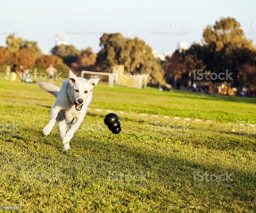 Labrador Fetching Chew Toy in Park royalty-free stock photo