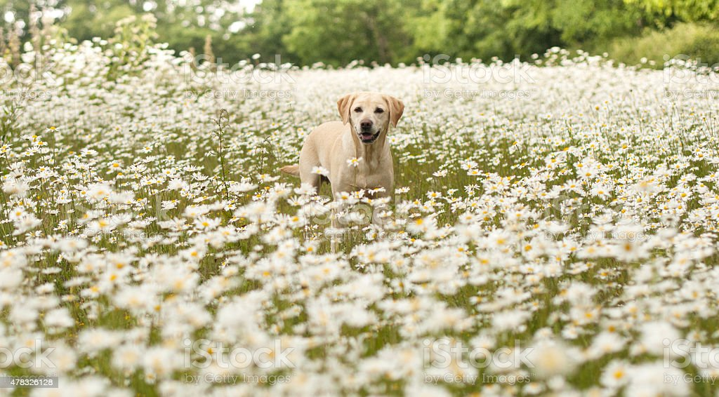 labrador in a field of daisies royalty-free stock photo