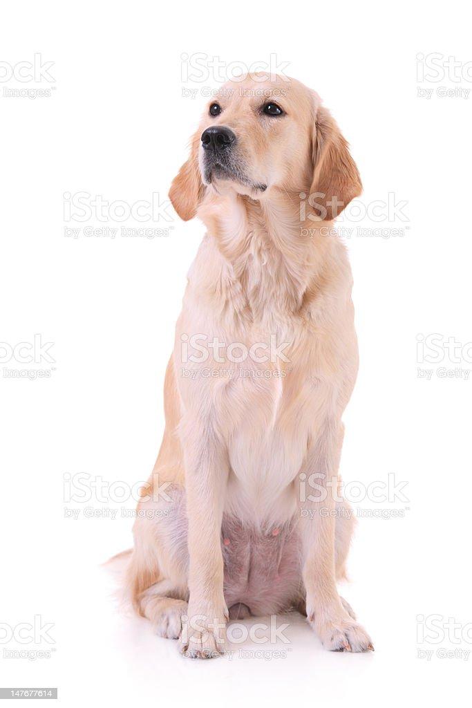 Labrador isolated on white royalty-free stock photo
