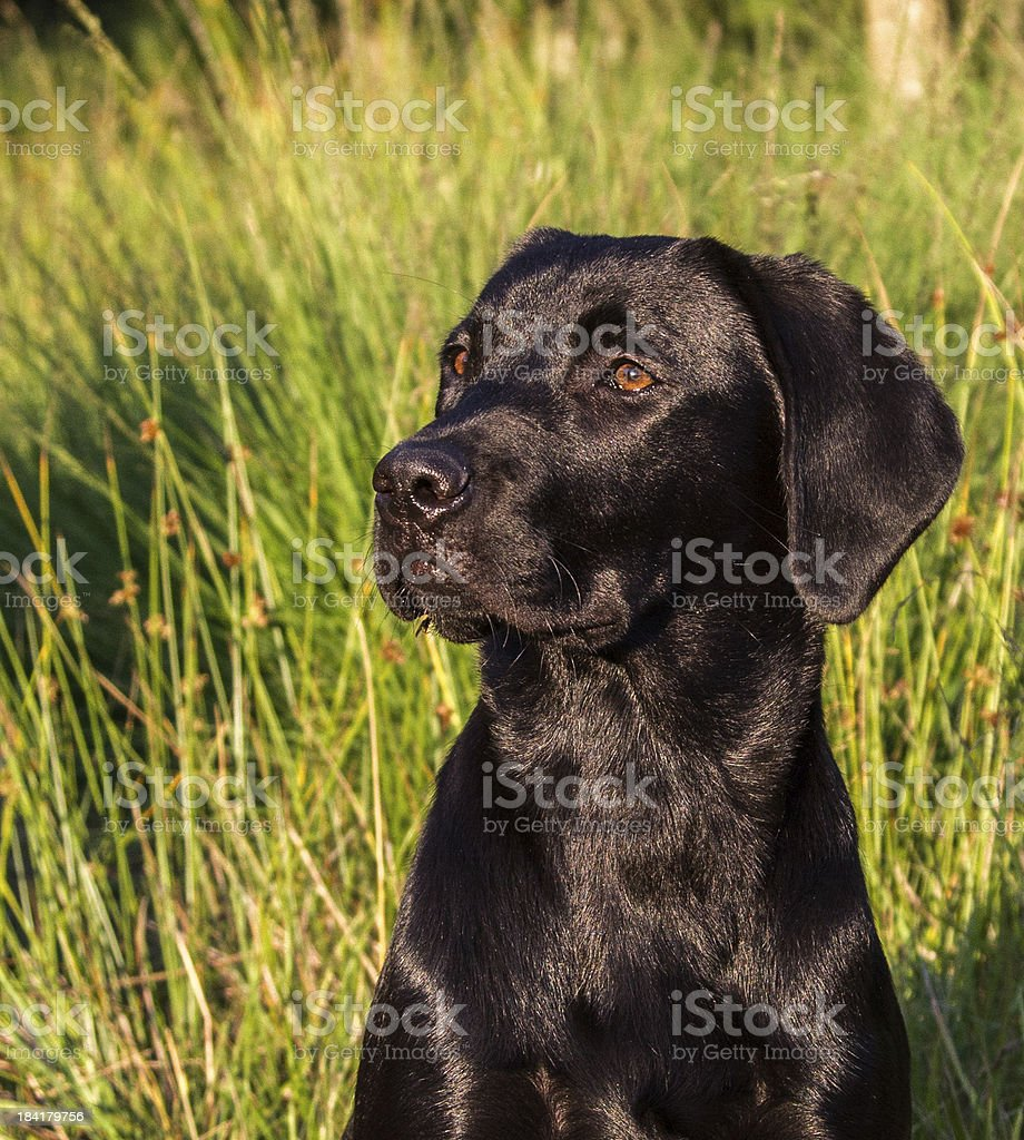 Labrador looking to the left stock photo