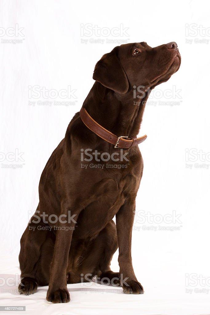 Labrador looking up. stock photo