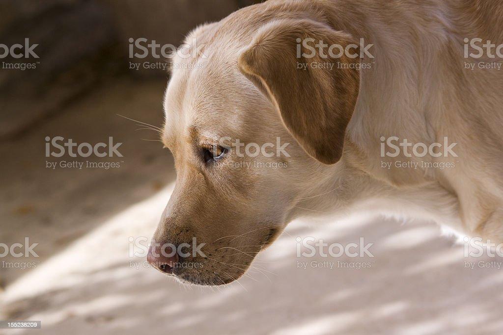 Labrador Lizenzfreies stock-foto