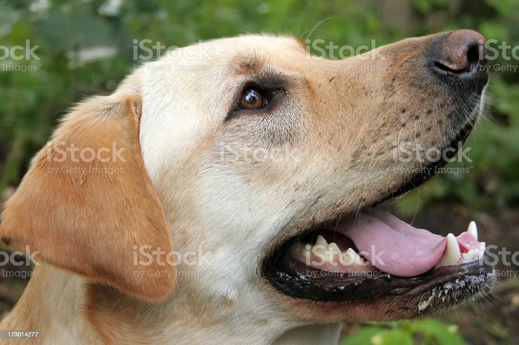 Labrador royalty-free stock photo