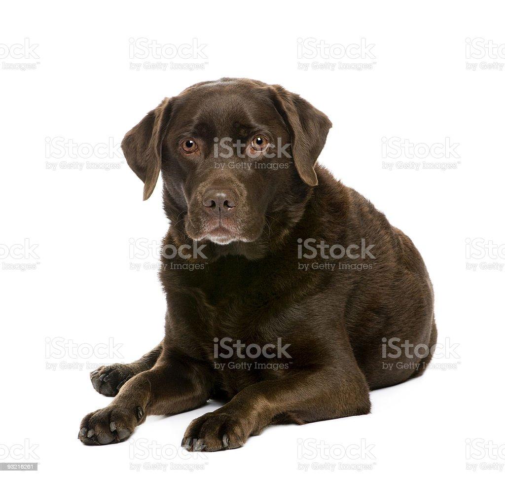 Labrador (7 years) stock photo
