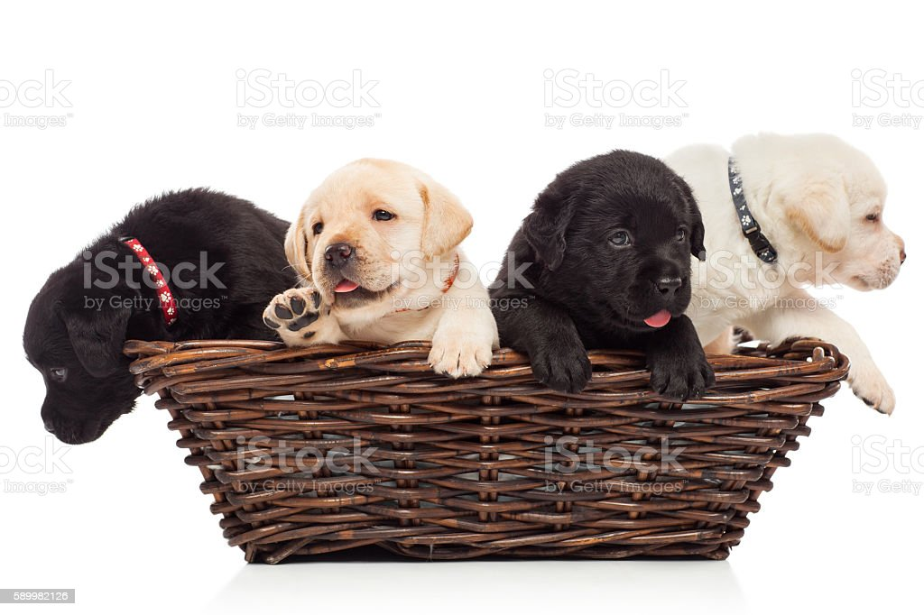 Labrador puppies in a basket stock photo