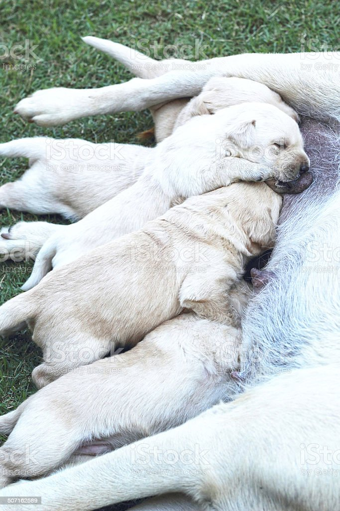 Labrador puppies sucking milk from mother dog breast. royalty-free stock photo