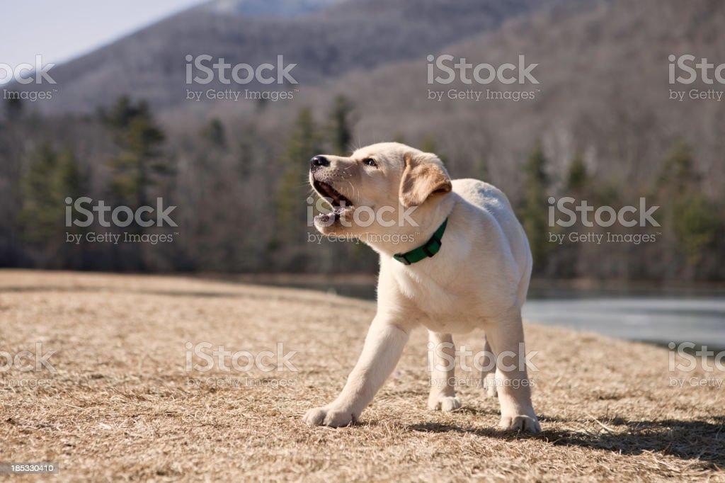 A Labrador puppy barking outside stock photo