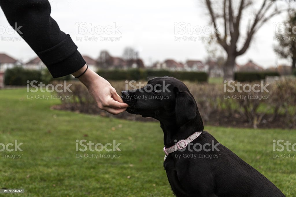 Labrador Puppy being trained in the park stock photo