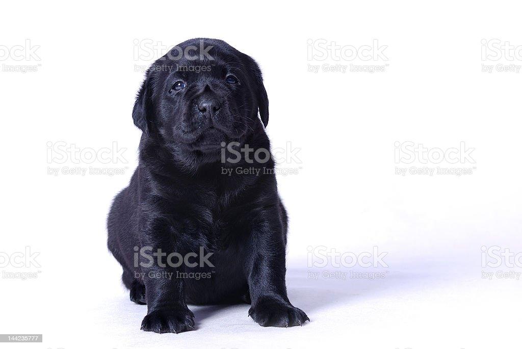 Labrador puppy royalty-free stock photo