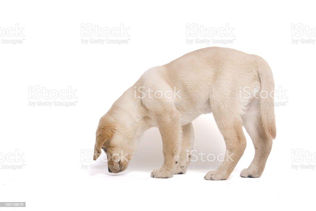 Labrador puppy stock photo