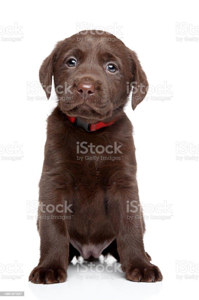 Labrador puppy portrait stock photo