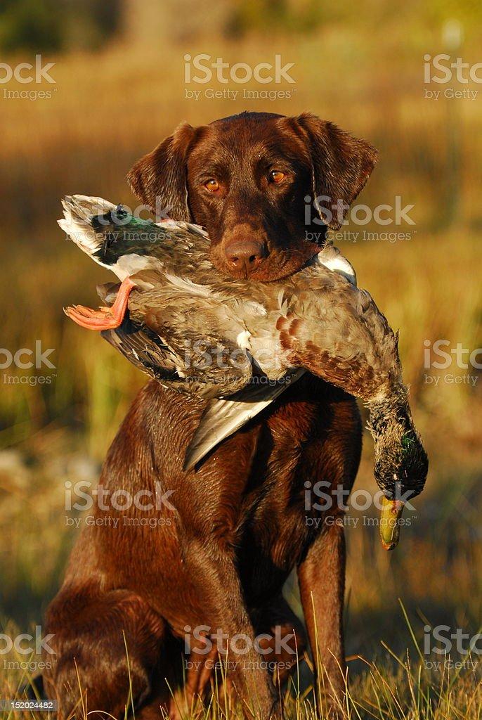 Labrador Retiever Hunting Ducks stock photo
