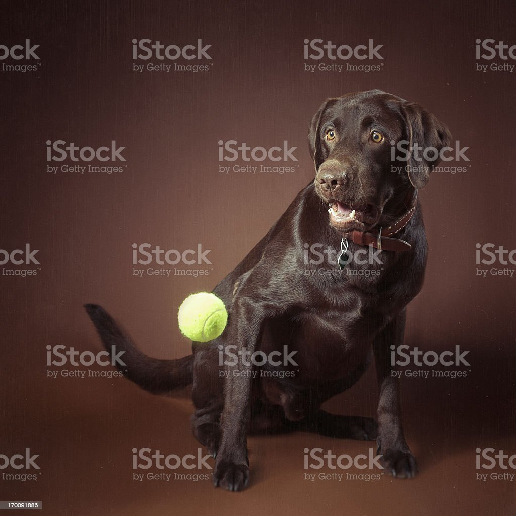 Labrador retriever chocolate royalty-free stock photo
