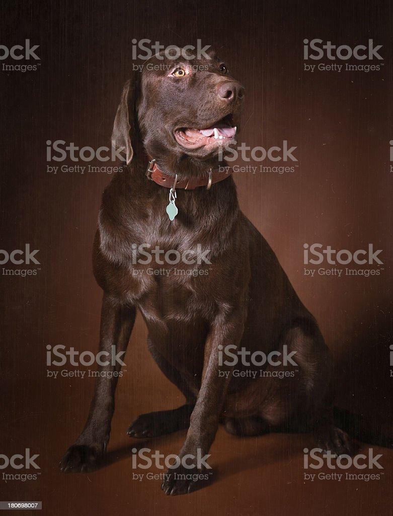 Labrador retriever chocolate royalty-free stock photo