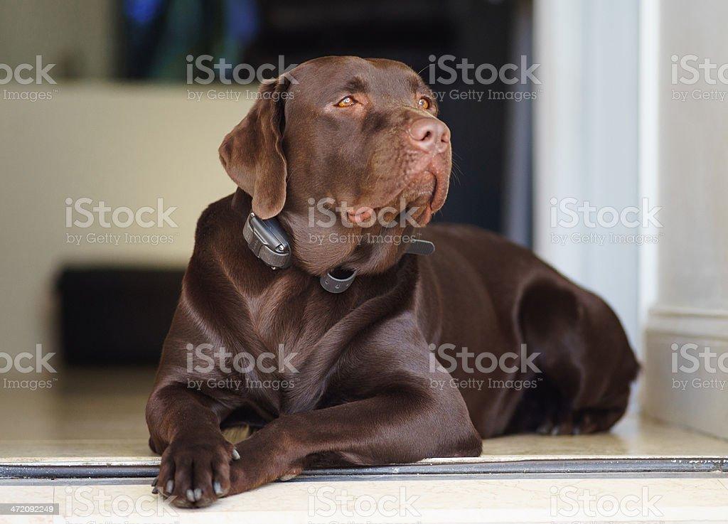 Labrador retriever chocolate stock photo