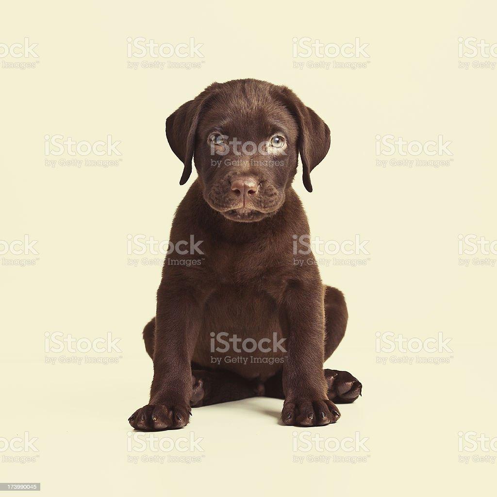Labrador retriever chocolate puppy royalty-free stock photo
