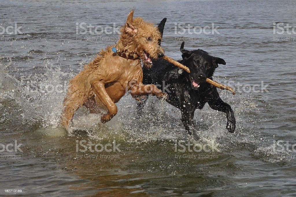 Labrador retriever dog and Labradoodle Puppy at the beach royalty-free stock photo