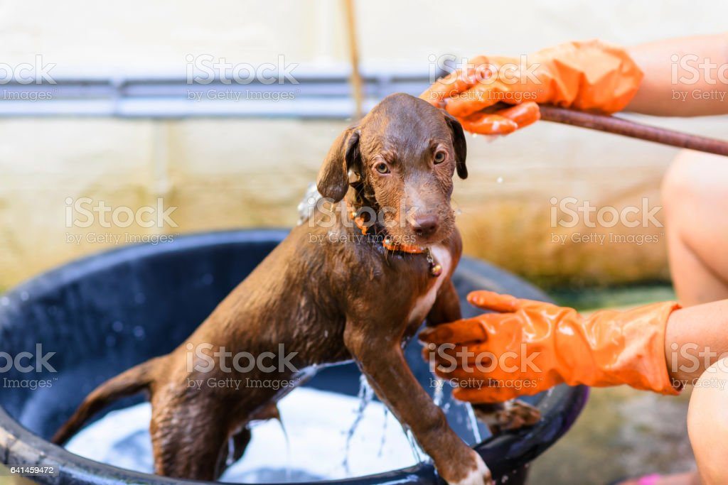 Labrador retriever dog grooming stock photo