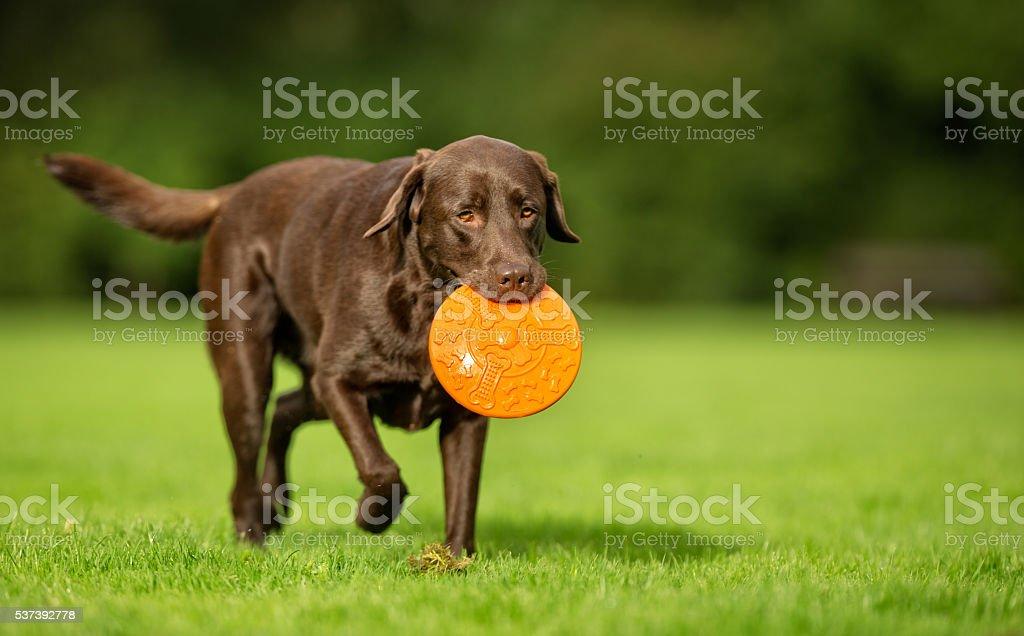 Labrador Retriever Dog stock photo