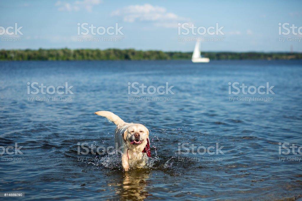 Labrador Retriever dog running through water creating huge splash and water droplets stock photo