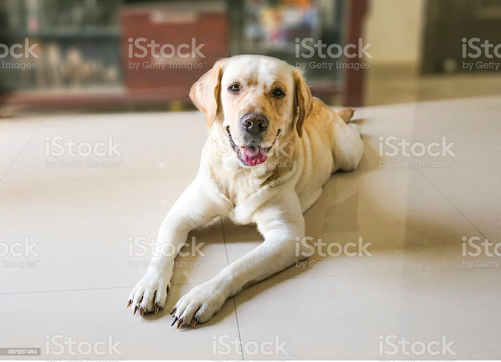 Labrador retriever dog sleeping on the floor close up stock photo