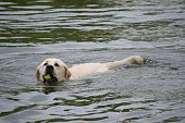 Labrador Retriever Fetching A Tennis Ball From A Lake
