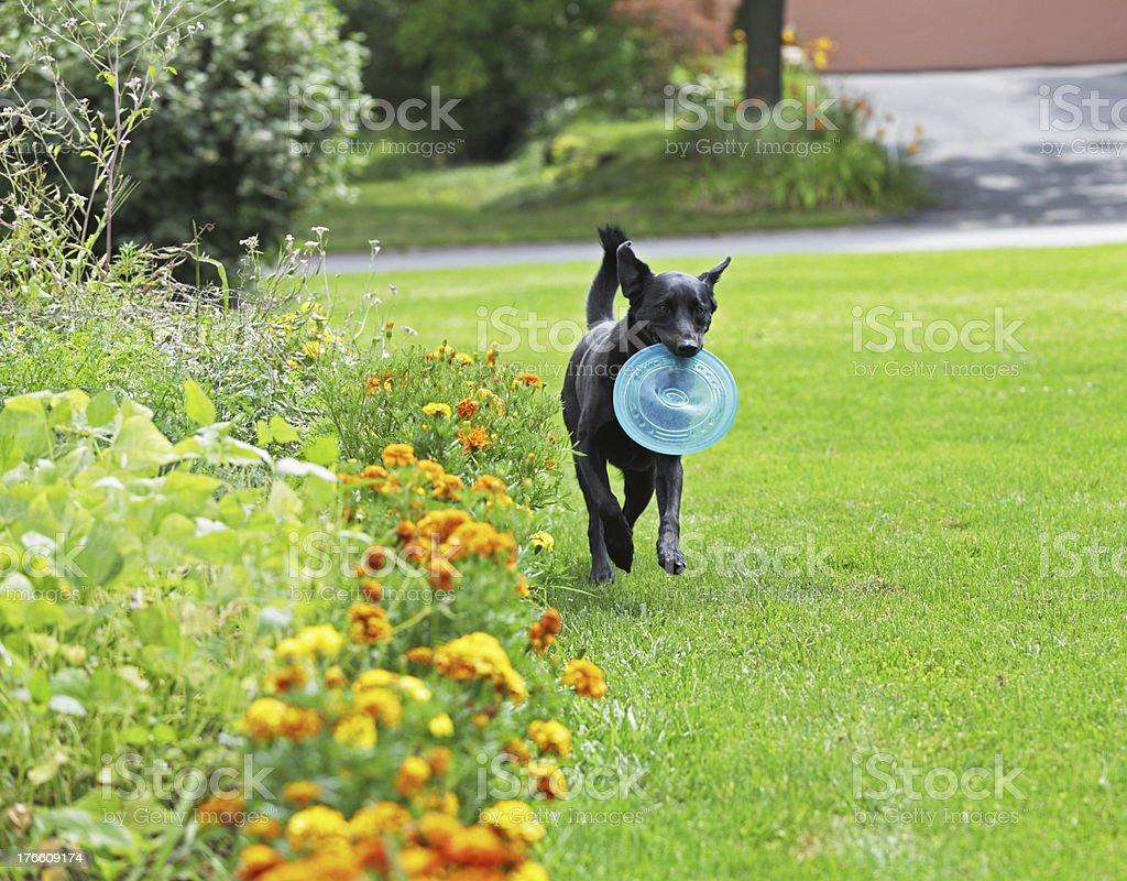 Labrador Retriever Fetching Frisbee royalty-free stock photo