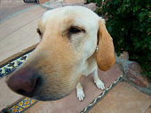 Labrador Retriever, Fisheye Lens Image, AKC's most popular dog breed