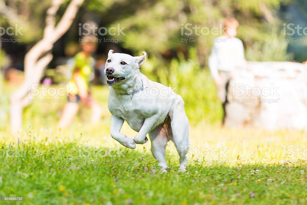 Labrador Retriever in action stock photo