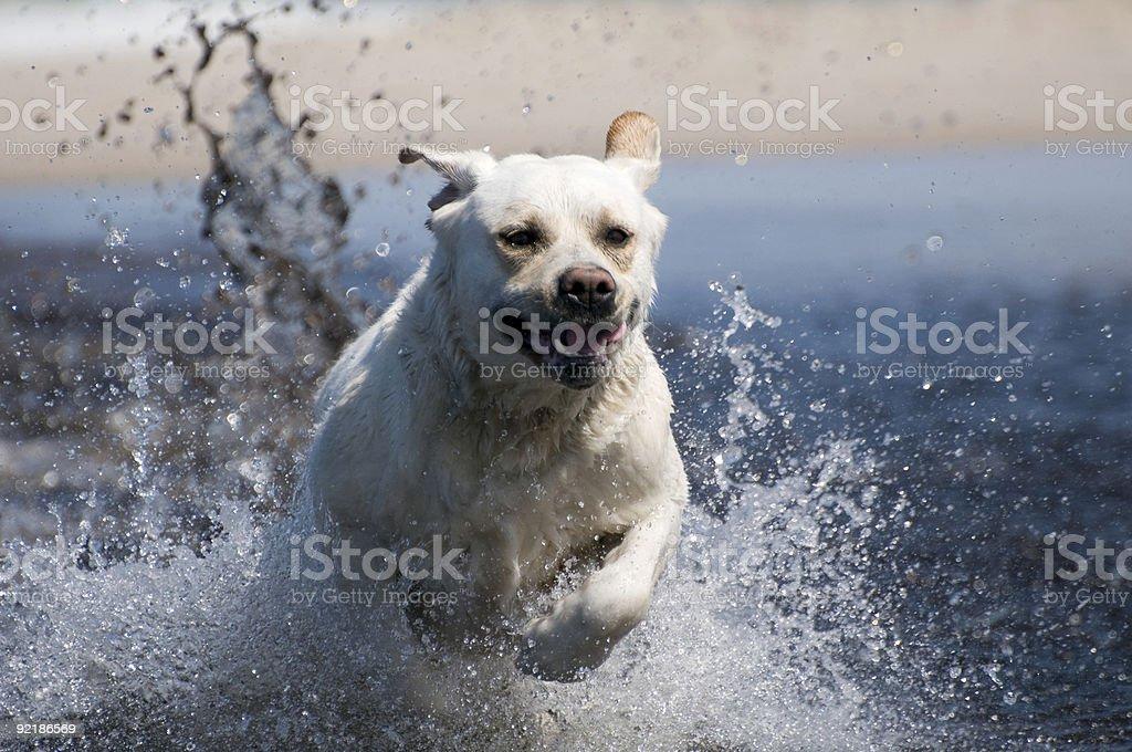 Labrador retriever in action royalty-free stock photo