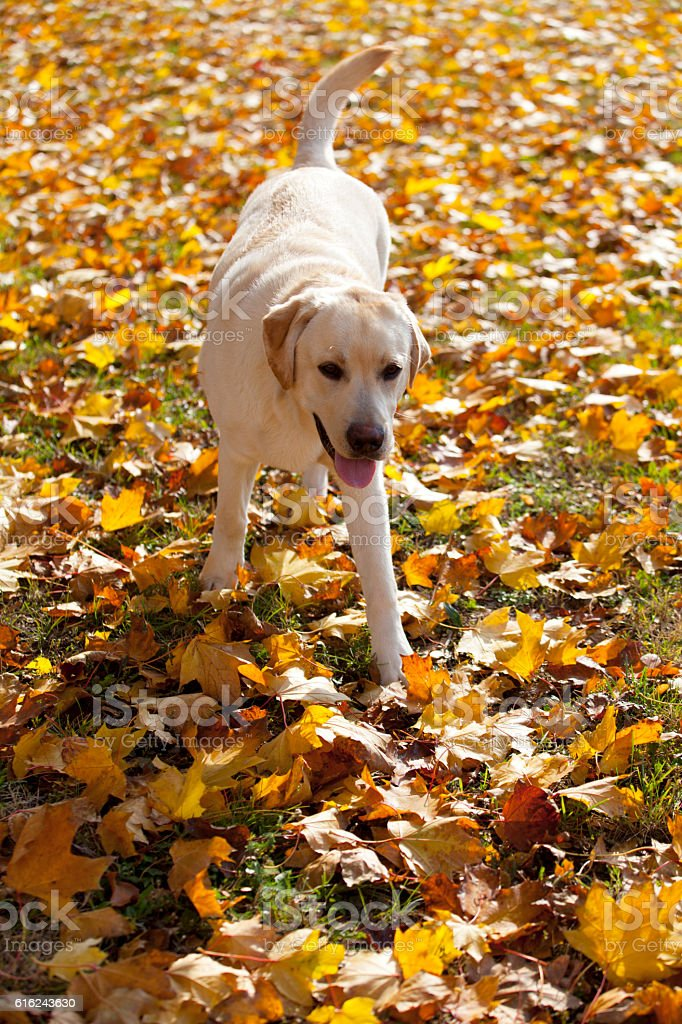 Labrador Retriever in Autumn Leaves stock photo