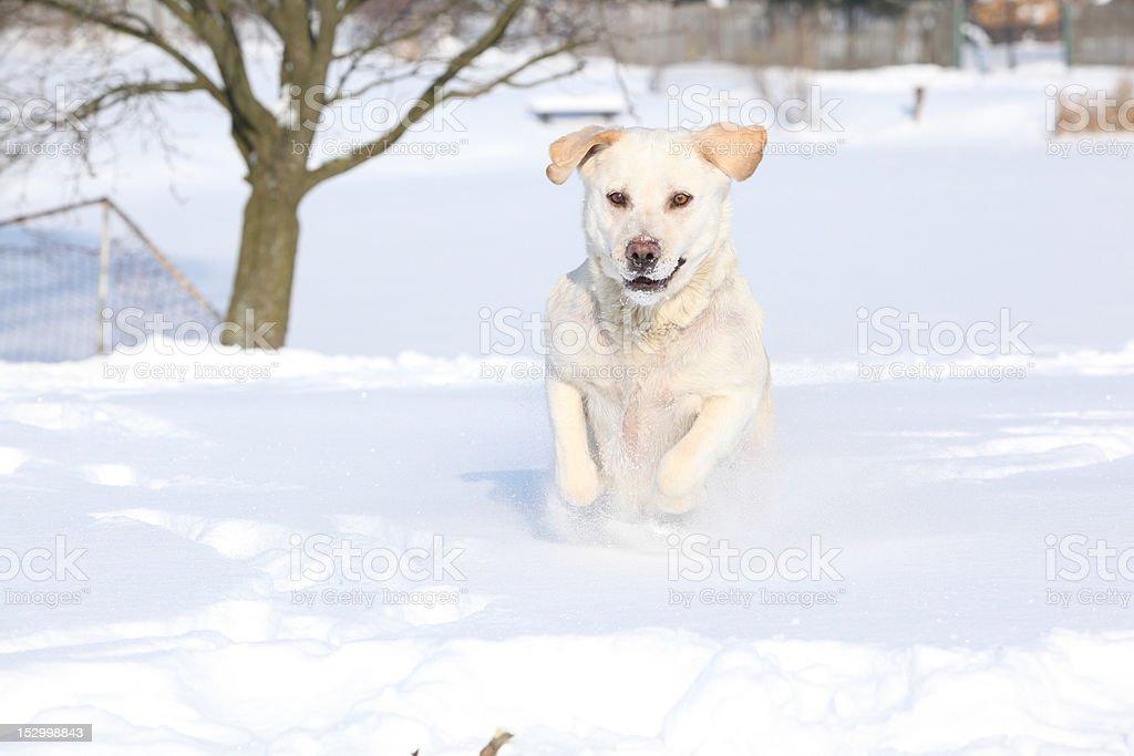 Labrador Retriever in winter royalty-free stock photo