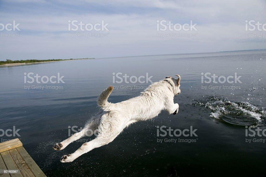 Labrador Retriever jumping into water stock photo