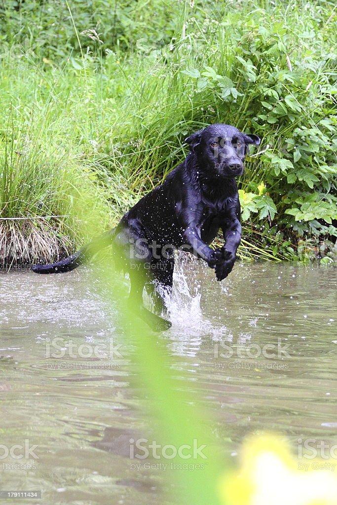 Labrador Retriever jumps into a lake royalty-free stock photo