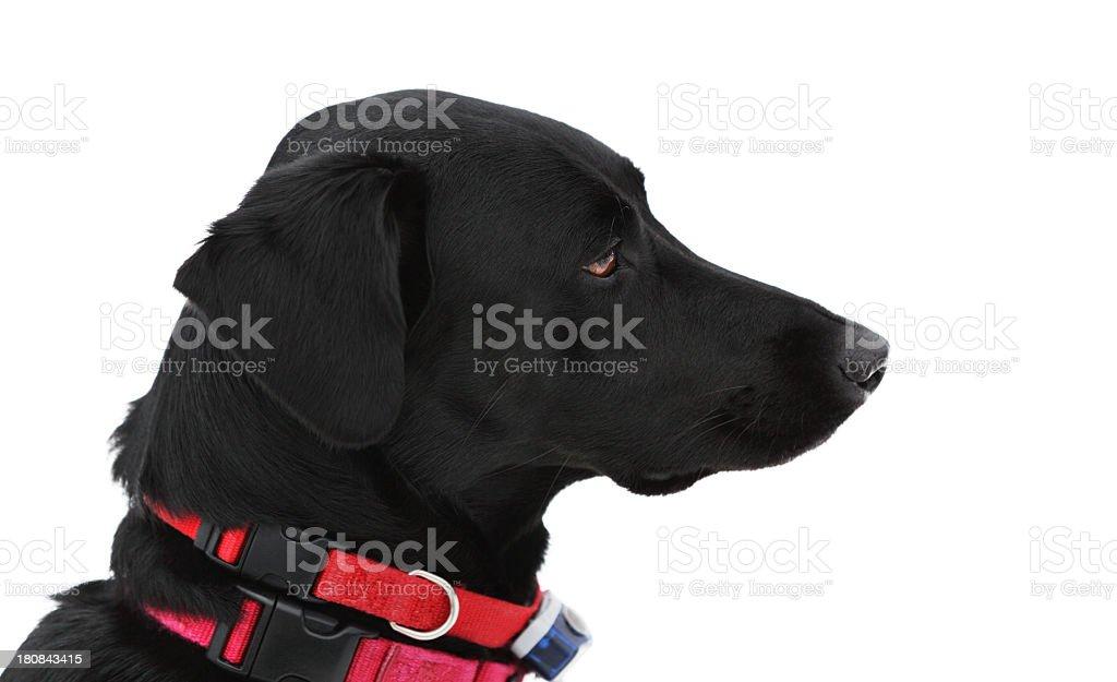Labrador Retriever Mixed Breed Dog royalty-free stock photo