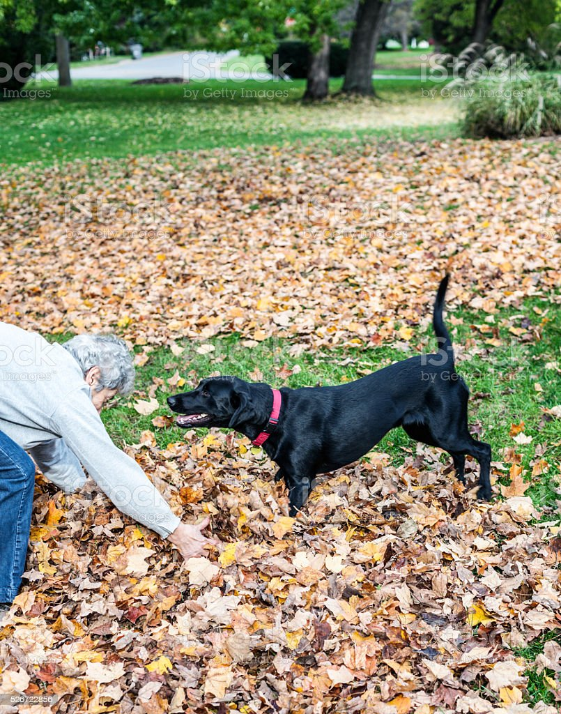 Labrador Retriever Mixed Breed Dog Waiting For Thrown Autumn Leaves stock photo
