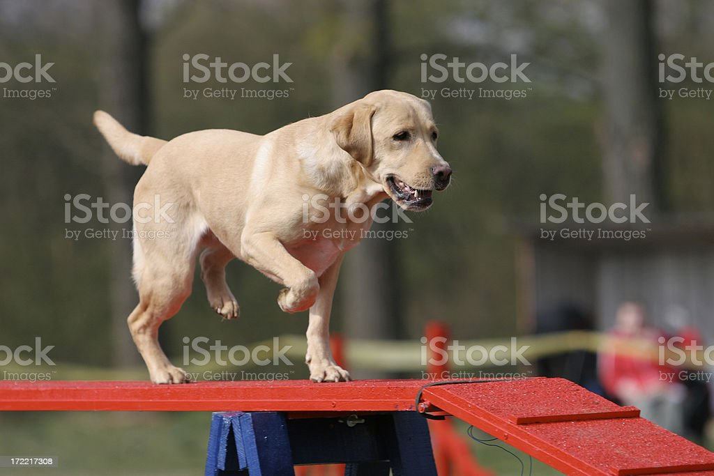 Labrador retriever royalty-free stock photo