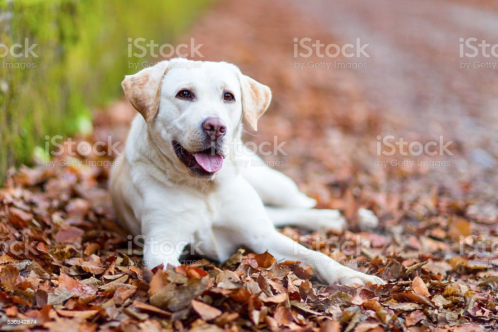 Labrador retriever stock photo