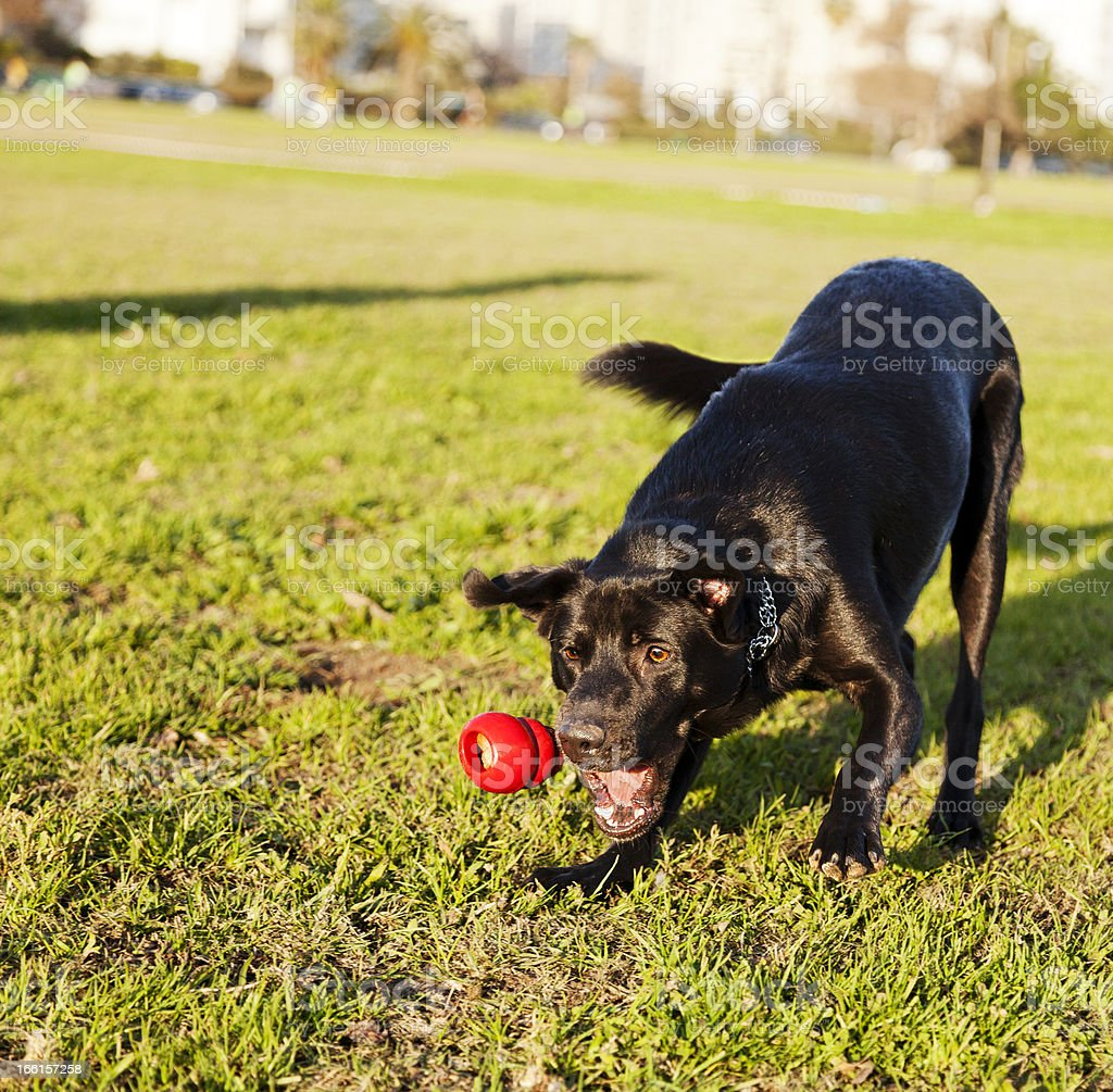 Labrador retriever playing fetch with chew toy at park stock photo