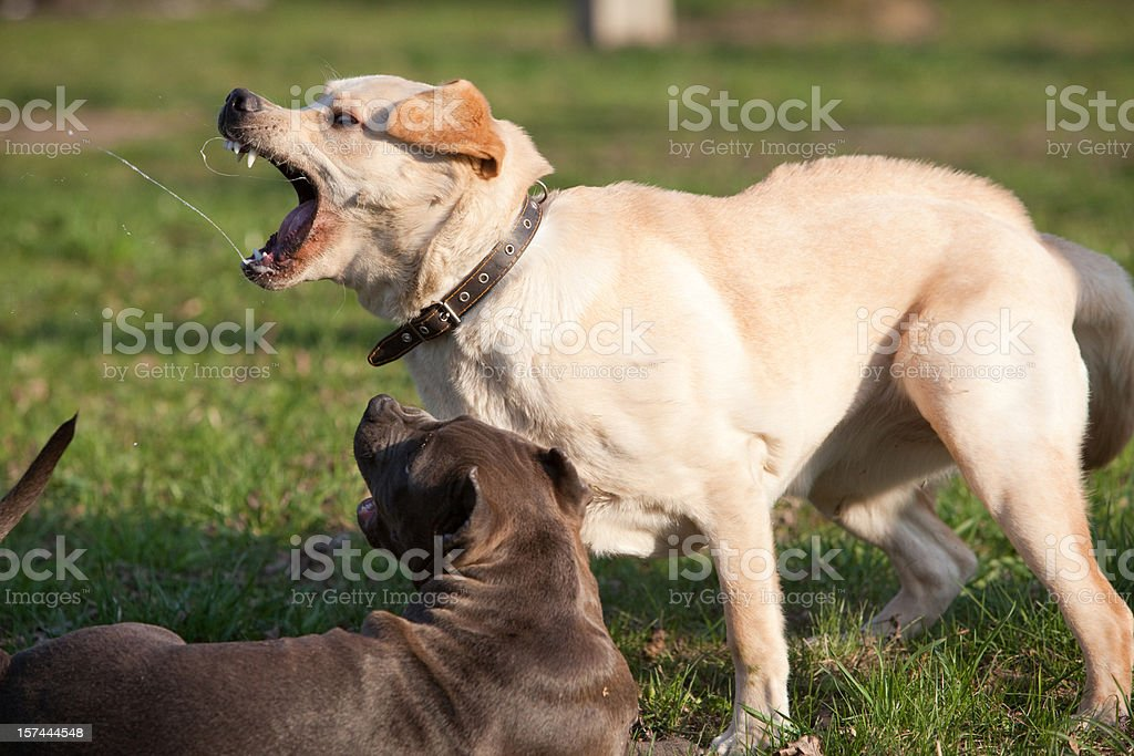 Labrador retriever playing with pit bull terrier royalty-free stock photo