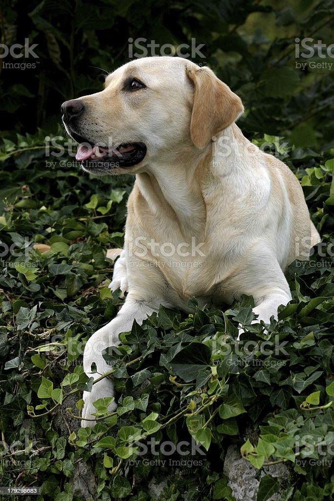 Labrador Retriever Portrait royalty-free stock photo