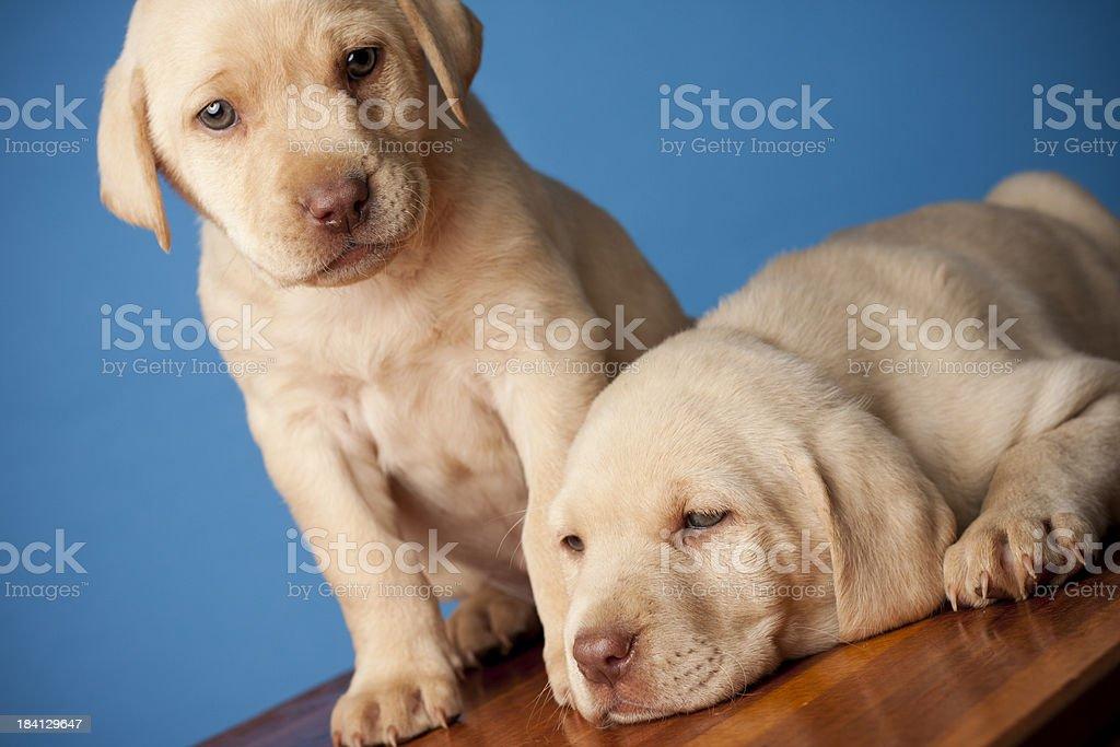 Labrador Retriever Puppies stock photo