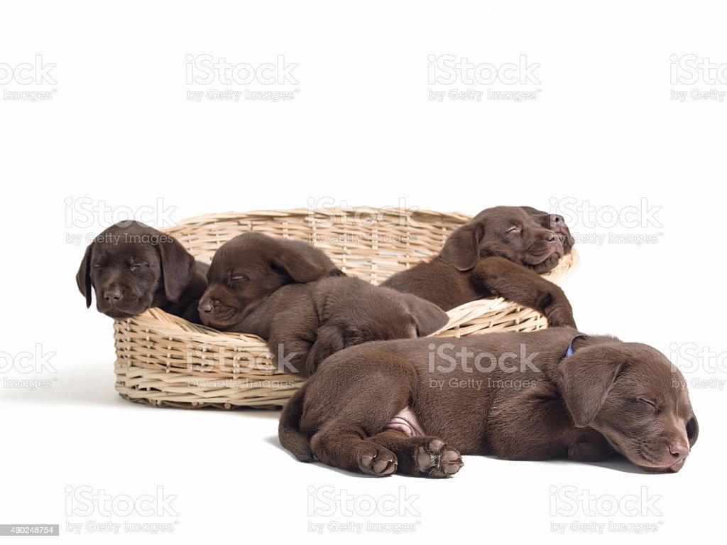 Labrador retriever puppies sleeping on basket stock photo