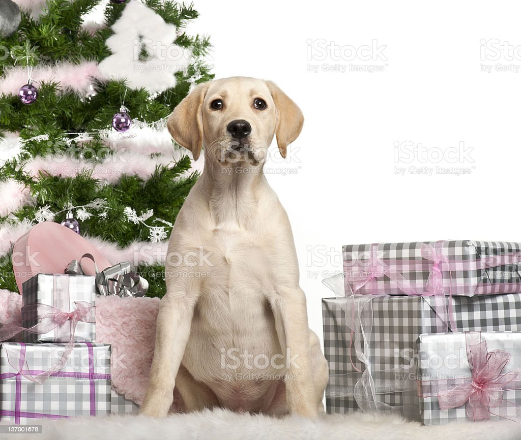 Labrador Retriever puppy, 4 months old, sitting with Christmas tree stock photo
