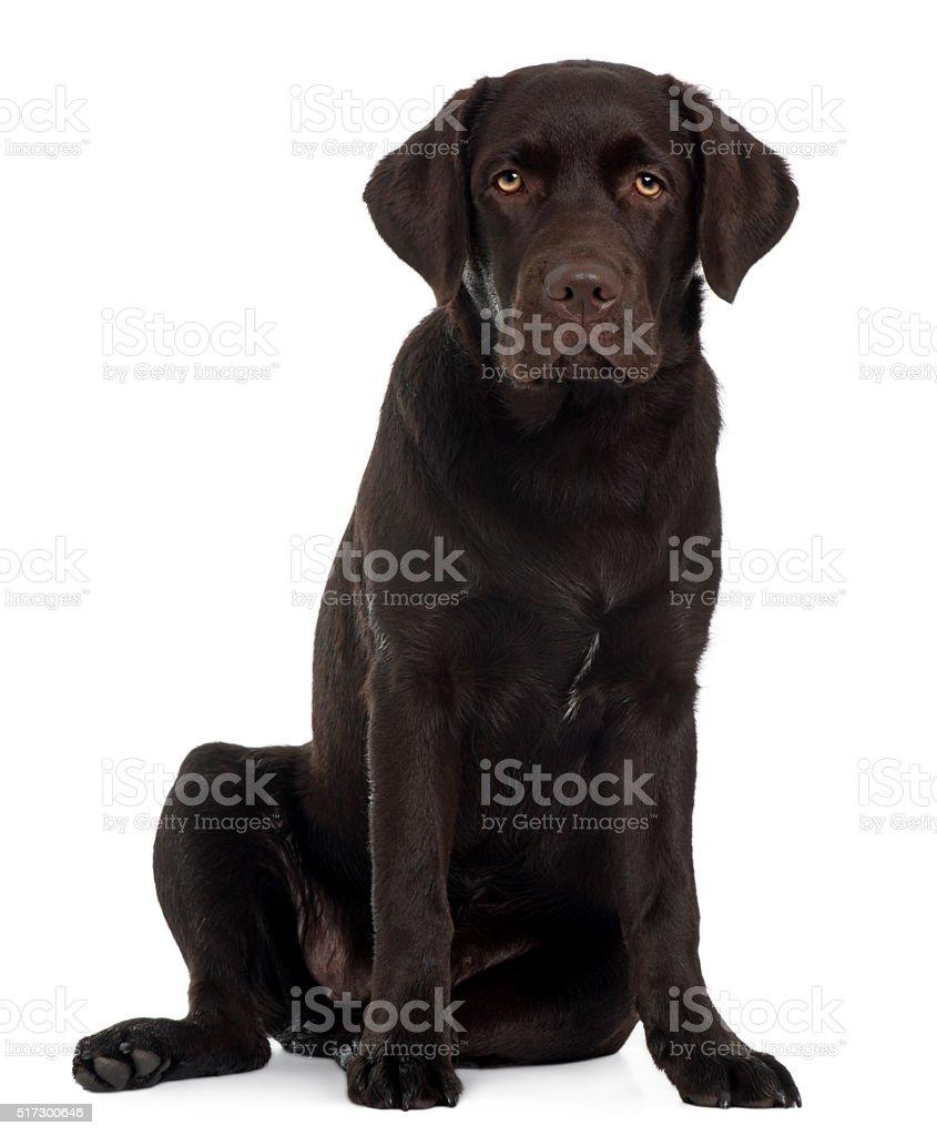 Labrador Retriever puppy, 6 months old, sitting stock photo