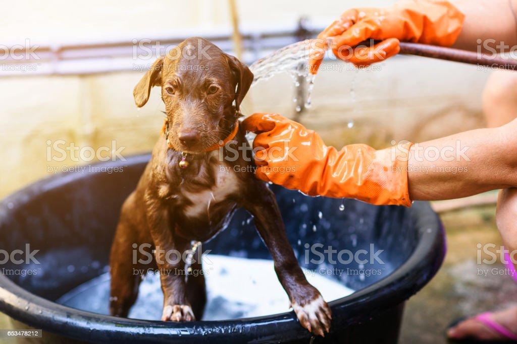 Labrador Retriever puppy dog bathing shower stock photo