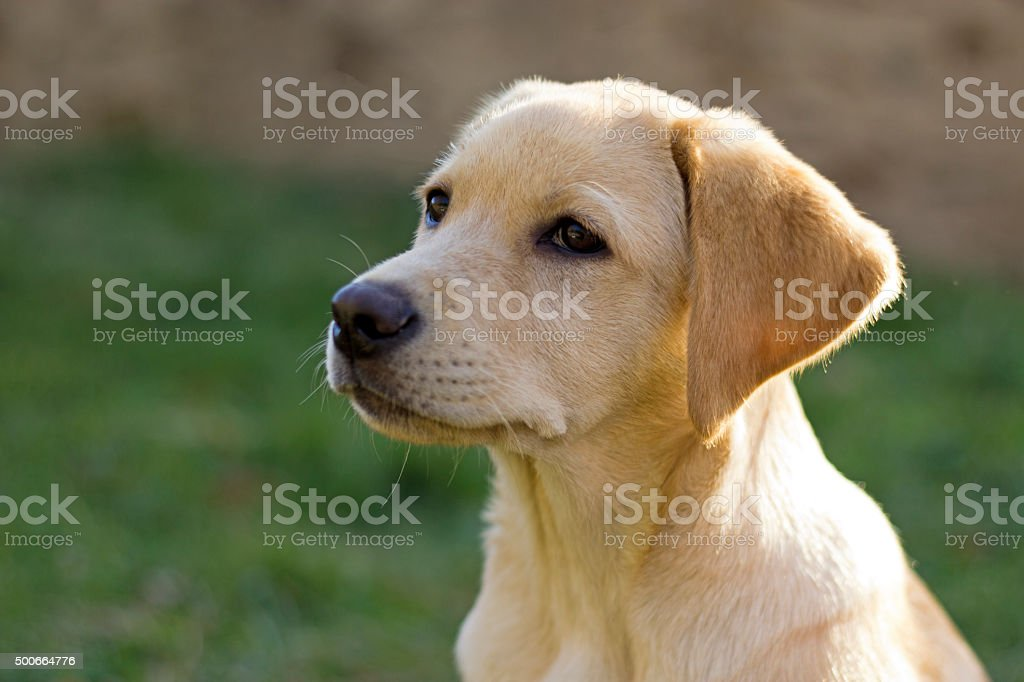 Labrador retriever puppy in the yard stock photo