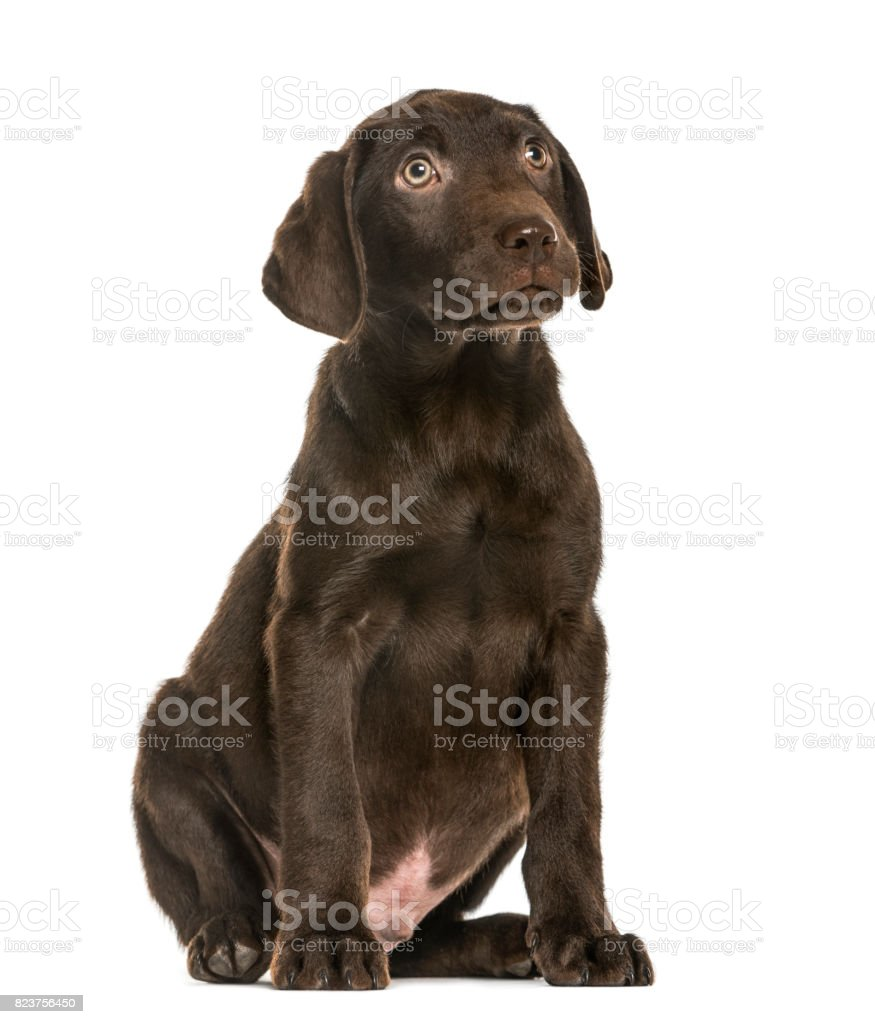 Labrador Retriever puppy looking up, 3 months old, isolated on white stock photo