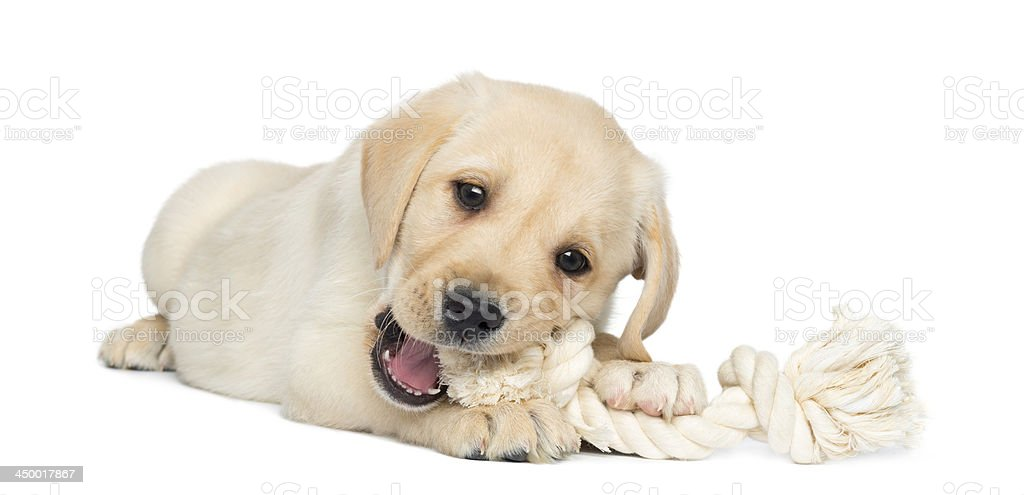 Labrador Retriever Puppy lying and chewing a rope toy stock photo